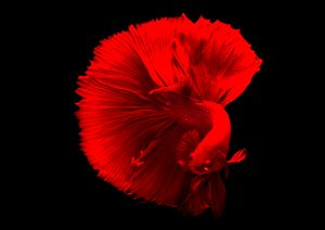 The Art of Siamese fighting betta fish movement black background - design trends 2018